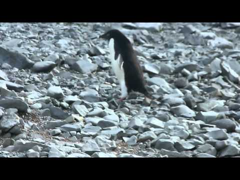 Pingüino en Base Esperanza