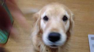 So cute! Golden retriever is nice! do you know Alia? She is golden ...