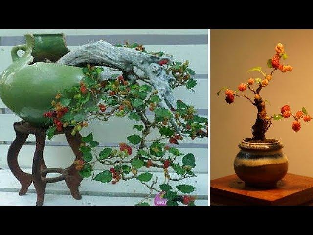 Mê mẩn loạt bonsai dâu tằm đẹp hút mắt