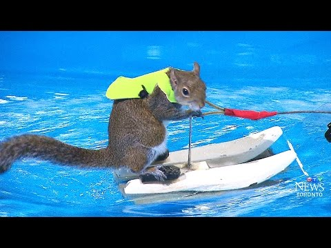 'You're nuts': Meet Twiggy the waterskiing squirrel