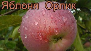 видео Яблоня Орлик