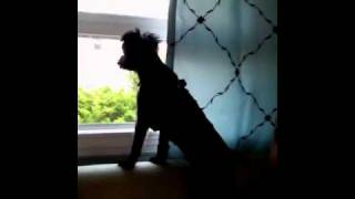 Willy Yorkie Poo Howling At Fire Engine Siren