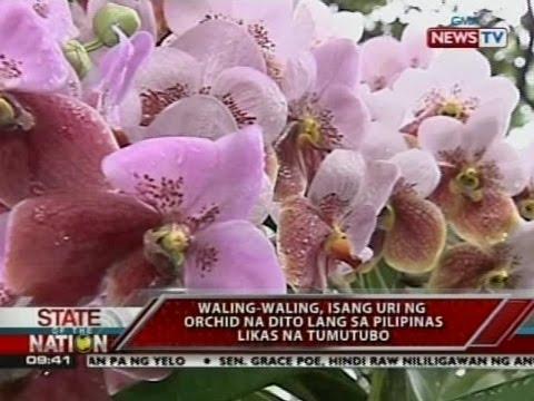 SONA: Waling-waling, isang uri ng orchid na dito lang sa Pilipinas likas na tumutubo