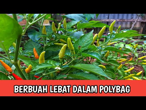CARA MENANAM CABE DALAM POLYBAG AGAR BERBUAH LEBAT || The Easiest Way To Plant Chilies In Polybags