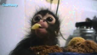 Приколы !!! Маленькая обезьяна кушает