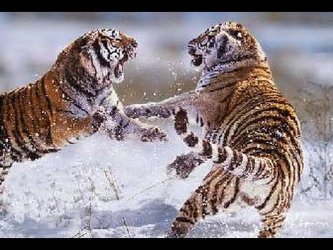 Top tigre de Sibérie vs tigre du Bengale HD - YouTube WT14
