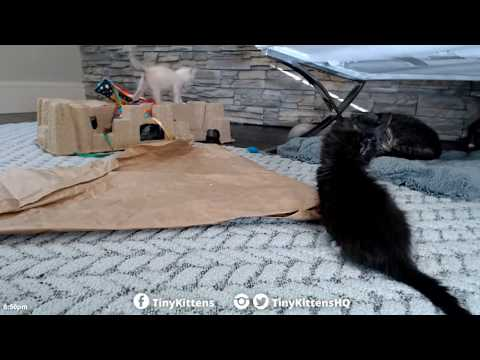 Tiny Kittens Canadian kittens playing & Mason watching resting 7 12 2017