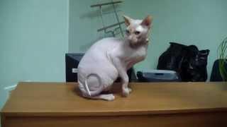 Сфинксы - бесшерстные породы кошек системы PCA