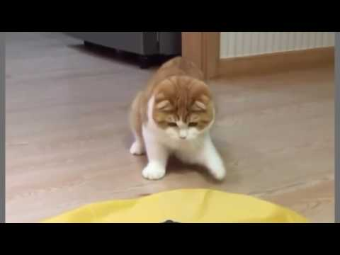 super cute & funny cat the Scottish fold