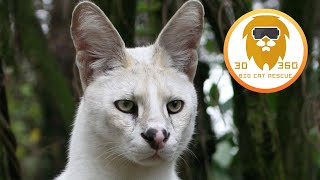 Amazing Small Wild Cats Up Close in 3D 180VR!