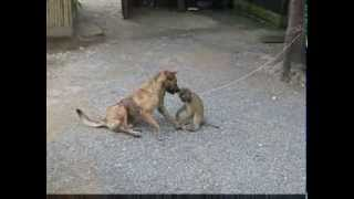 A Funny Monkey And Dog