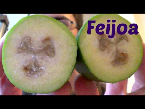 Feijoa Review - Weird Fruit Explorer Ep. 110