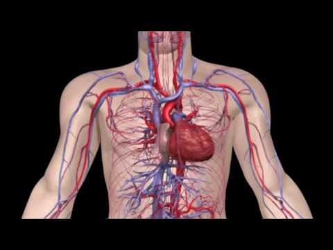 Как работает кровеносная система