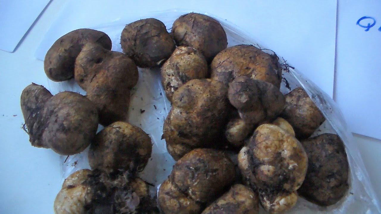 трюфелі гриби фото