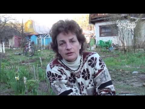 Гладиолусы. Посадка цветов в открытый грунт весной, выращивание и уход. Видео