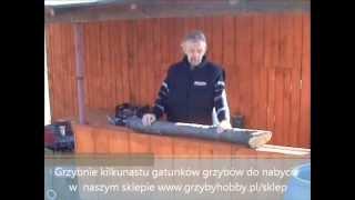 Uprawa grzybów - szczepienie drewna grzybnią na kołkach, grzybnia