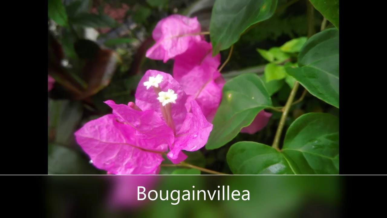 A sonata of hawaiian flowers youtube a sonata of hawaiian flowers izmirmasajfo Image collections