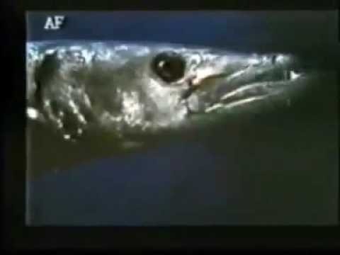 Barracuda  (1978) Trailer realizzato da Walter Salami Jr
