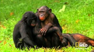 Wild Wives of Africa   Bonobo Love