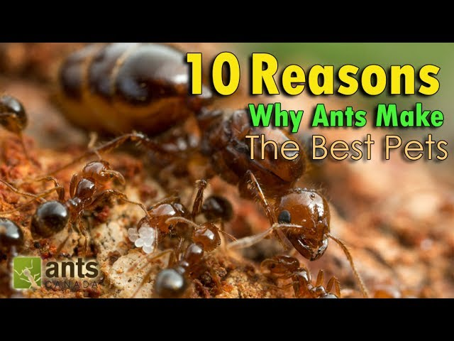 10-reasons-why-ants-make-the-best-pets