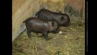 Живой дом. Вьетнамская вислобрюхая свинья(http://zagorod-tv.ru Немного видов животных также важны для человека, как свинья. Неприхотливые в кормлении, уходе,..., 2012-02-29T00:48:27.000Z)