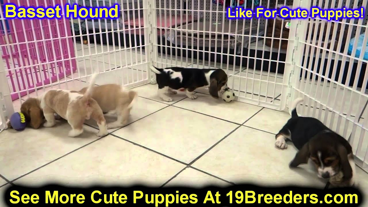 Basset Hound Puppies For Sale In Columbus Ohio Oh North