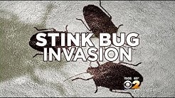 Prevent An Invasion When Stink Bug Season Begins