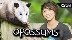 Opossums Are Ultimate Survivors