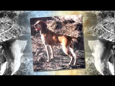 Bracco Italiano Dog Breed
