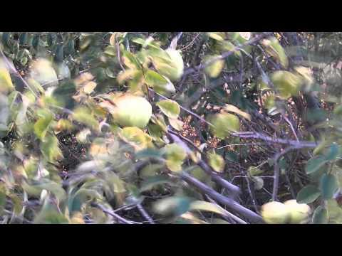 Дерево айва: описание фрукта айва, листья, родина, болезни
