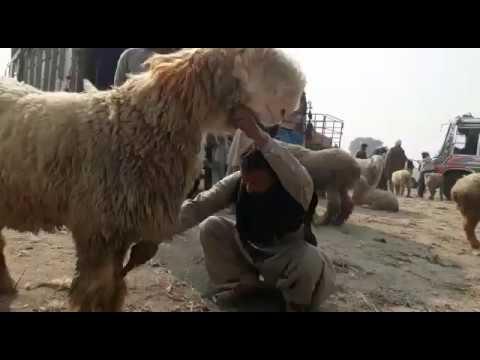Mundra Chatra Rajan Puri Bakrid Mohammed Bari Bakre goat