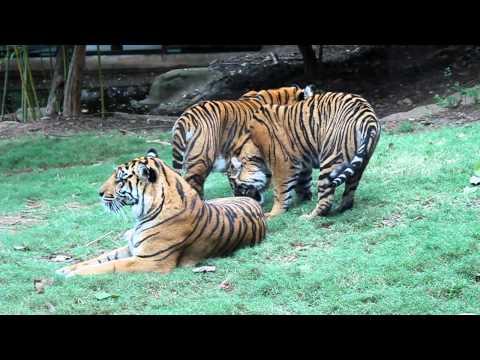 *RARE* Endangered Sumatran Tigers Playing at the Atlanta Zoo Amazing Creatures!
