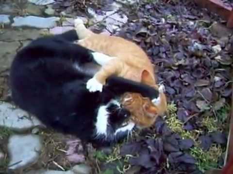اقوى خناقة بين القطط .FLV