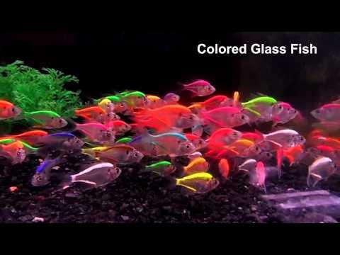 Colored Glassfish