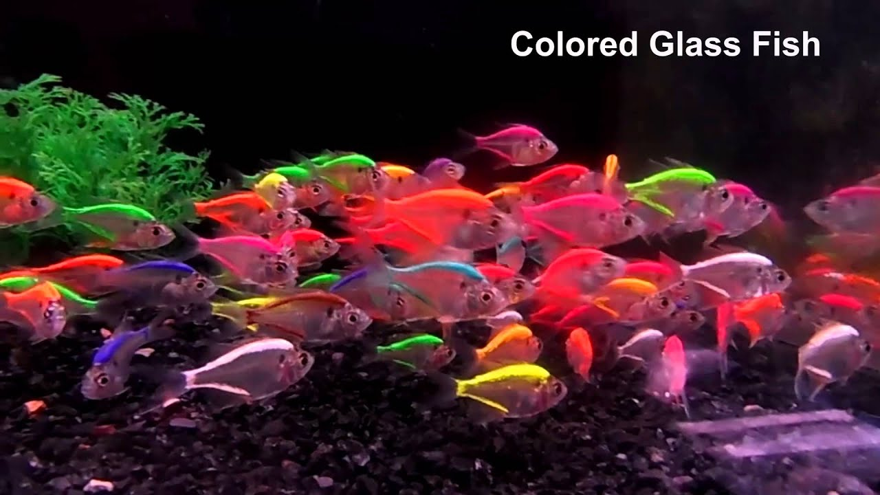 colored glassfish - YouTube