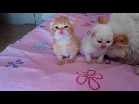 Yavru kediler 2 haftalık oldu (evde kedi bakımı)