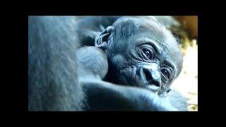 上野動物園で誕生したゴリラの赤ちゃん生後24日の様子です。 赤ちゃんは...