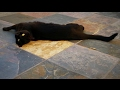Wanda the English Bombay Cat - A Day in the Life の動画、YouTube動画。