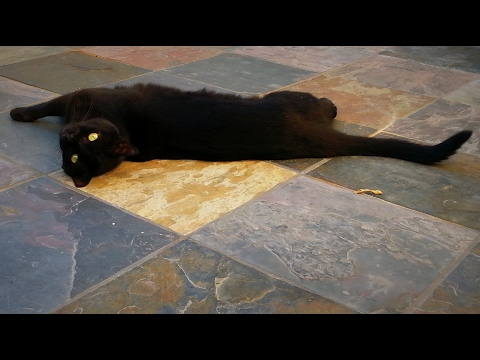 Wanda the English Bombay Cat - A Day in the Life