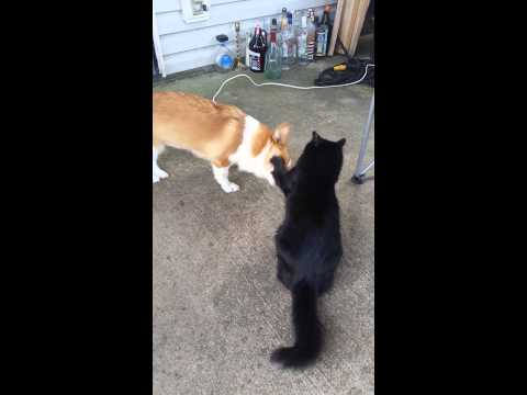Corgi and Cat Slap Fest