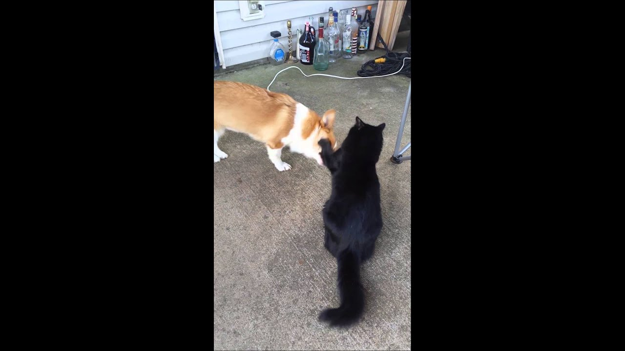 Youtube Cat Eye Tutorial: Corgi And Cat Slap Fest
