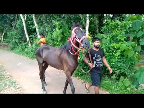 Black Horse For Sale - Kerala Horse Stable 9496327131, 7012715415