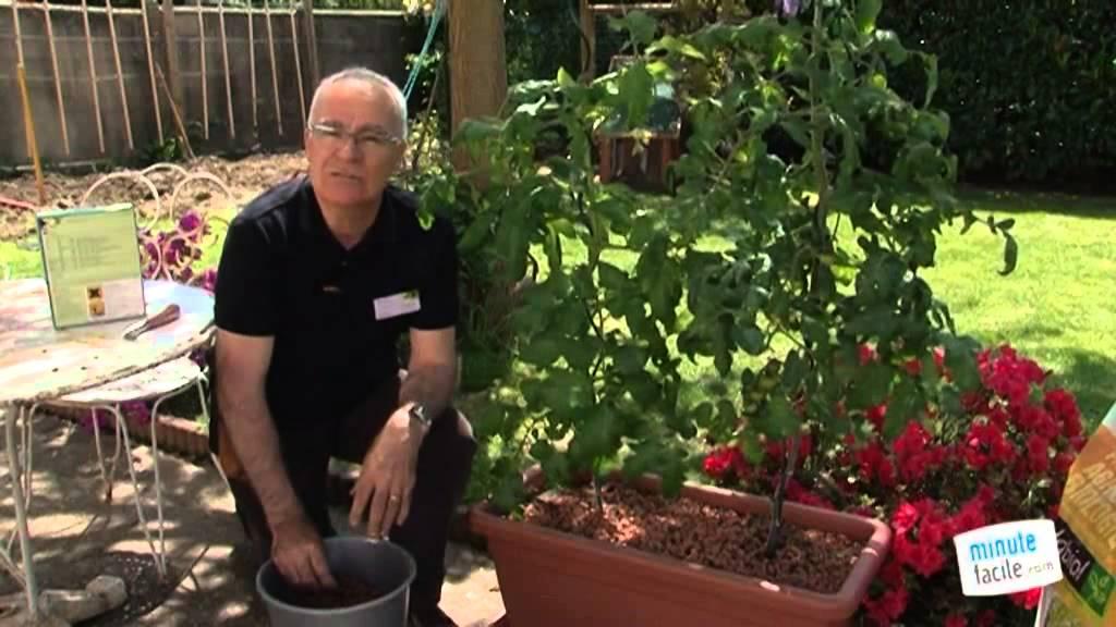 Comment Cultiver Les Tomates