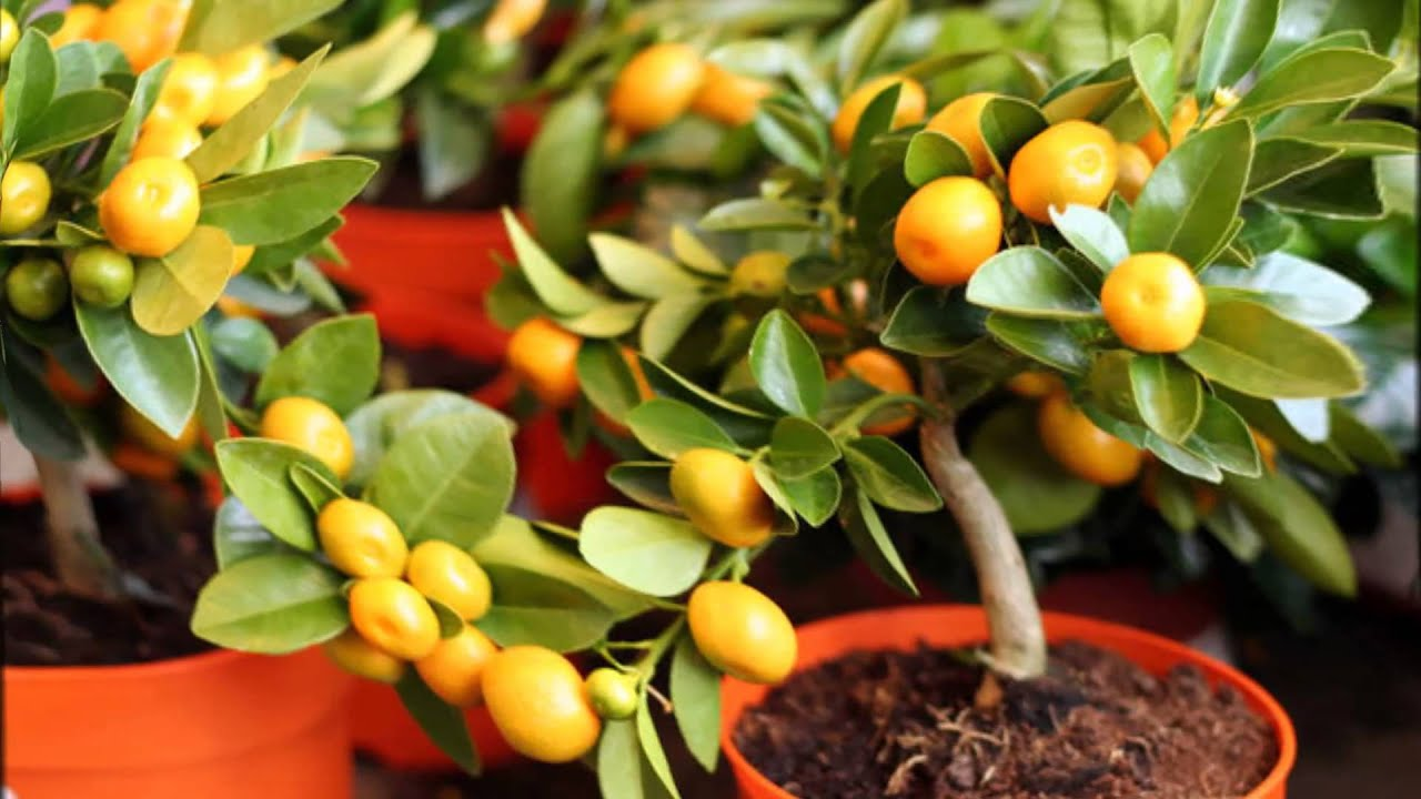 Условия для выращивания апельсинов 571