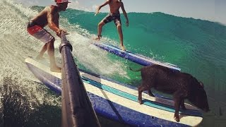 Kama the Surfing Pig Thumbnail