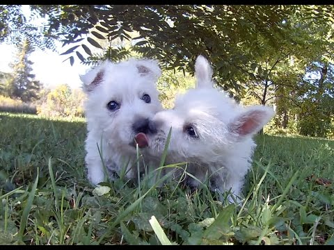West Highland White Terrier: Abigail's Puppies Farewell Video