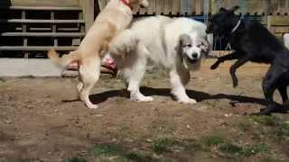 Great Pyrenees, Labrador Retrievers Play Chase