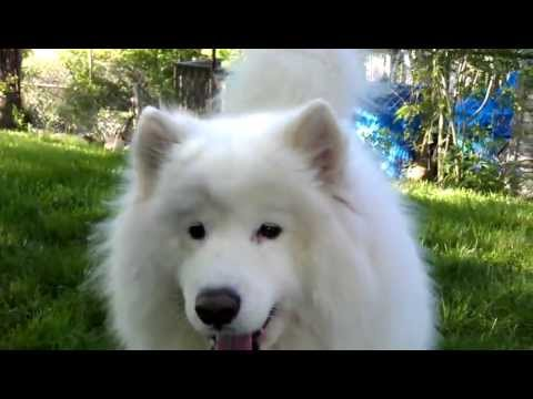 Samoyed howling and playing in the yard