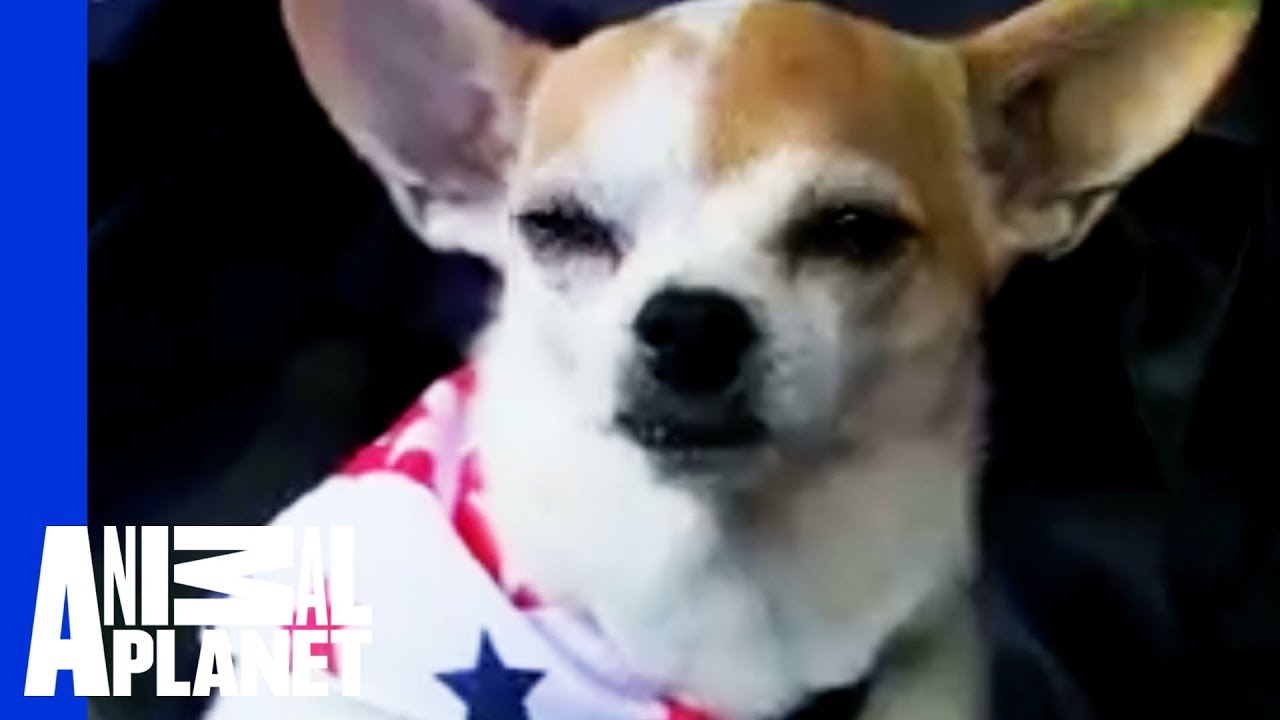 Chihuahua Temperament: The Good, the Bad, and the Ugly
