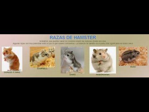 Tipos razas Hamster